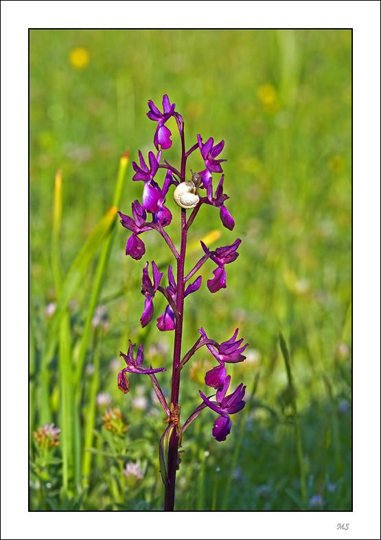 Anacamptis laxiflora ( Orchis à fleurs lâches ) Anacamptis%20laxiflora%20Orchis%20%e0%20fleurs%20l%e2ches%20093