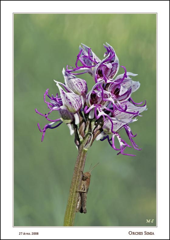 orchis simia Orchis%20simia%20923%20